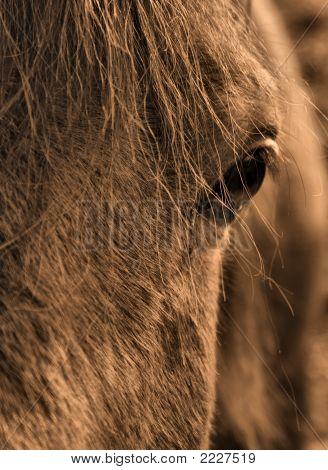 Eye Of The Arabian Horse