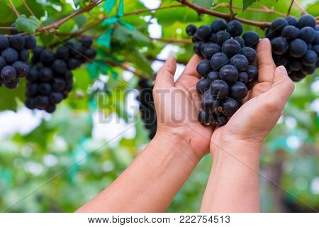 A woman hand holding a bunch of black grapes for making wine in Thailand. Fresh grapes that have not yet ripened. Green, Red and Black grapes, waiting to be taken to making wine.