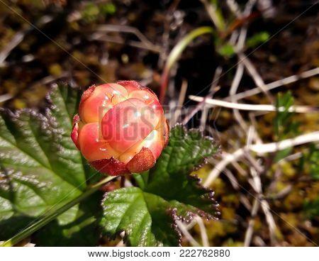 orange cloudberry growing on marsh closeup top view