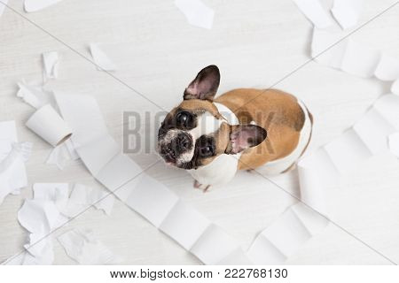 Home pet destruction on white bathroom floor with some piece of toilet paper. Pet care abstract photo. Small guilty dog with funny face