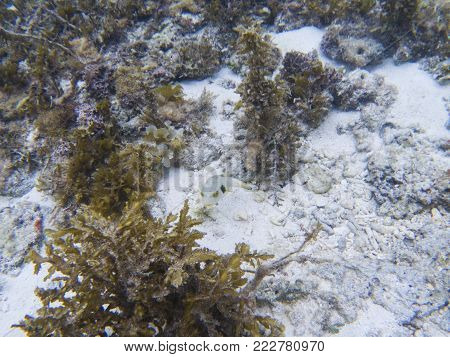 Pufferfish in tropical seashore underwater photo. Coral reef animal. Warm sea shore nature. Colorful sea fish and coral. Undersea view of marine life. Coral reef landscape. Shallow water snorkeling