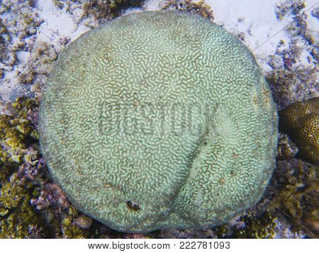 Round coral texture. Tropical seashore underwater photo. Coral reef animal. Warm sea shore nature. Coral surface closeup. Undersea view of marine life. Coral reef landscape. Shallow water snorkeling