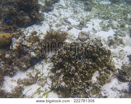 Dascillus colony in coral. Tropical seashore underwater photo. Coral reef animal. Warm seashore nature. Sea fish and coral. Undersea view of marine life. Coral reef landscape. Shallow water snorkeling