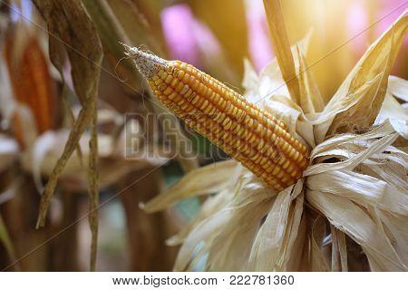 Closeup of dry corn cob ready for harvest