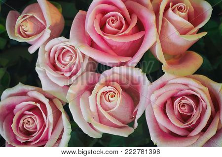 flower of pink roses retro style for background