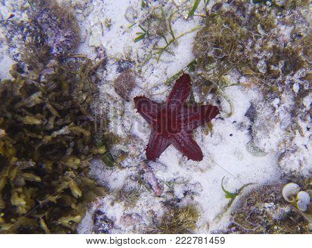Red star fish on white sand sea bottom. Tropical starfish underwater photo. Exotic aquarium animal. Starfish in wild nature. Tropical fish on white sand. Tropic seashore snorkeling. Coral reef animal