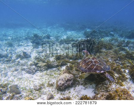 Exotic sea turtle in tropical sea shore. Marine tortoise underwater photo. Green turtle in natural environment. Green turtle swims underwater. Coral reef inhabitant. Marine animal of tropical seashore