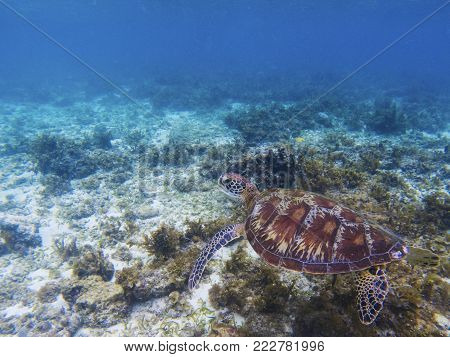 Wild sea turtle in tropical sea shore. Marine tortoise underwater photo. Green turtle in natural environment. Green turtle swims underwater. Coral reef inhabitant. Marine animal of tropical seashore