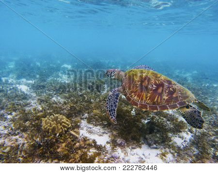 Lovely sea turtle in tropical sea shore. Marine tortoise underwater photo. Green turtle in natural environment. Green turtle swims underwater. Coral reef inhabitant. Marine animal of tropical seashore