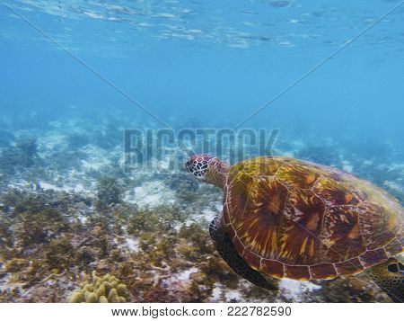 Old turtle in tropical sea shore. Marine tortoise underwater photo. Olive green turtle in natural environment. Green turtle swims underwater. Coral reef inhabitants. Marine animal of tropical seashore