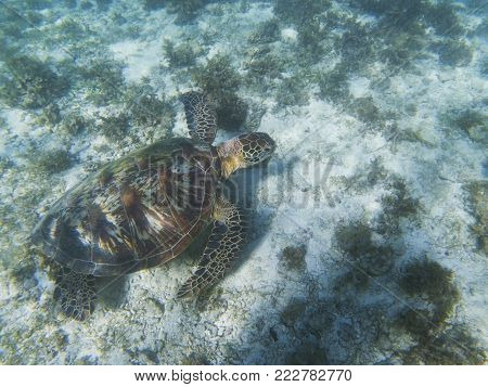Sea turtle on sand sea bottom. Tropical seashore underwater photo. Marine tortoise undersea. Green turtle in natural environment. Green turtle swims underwater. Marine animal of tropical seashore