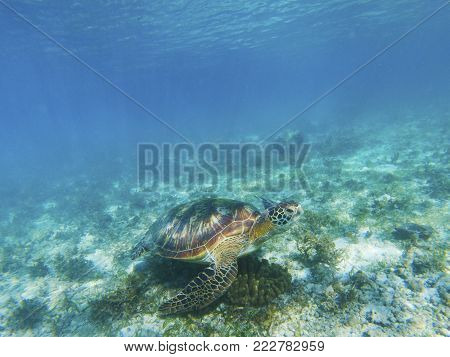 Sea turtle feeds by seaweed. Tropical seashore underwater photo. Marine tortoise undersea. Green turtle in natural environment. Green turtle swims underwater. Marine animal of tropical seashore