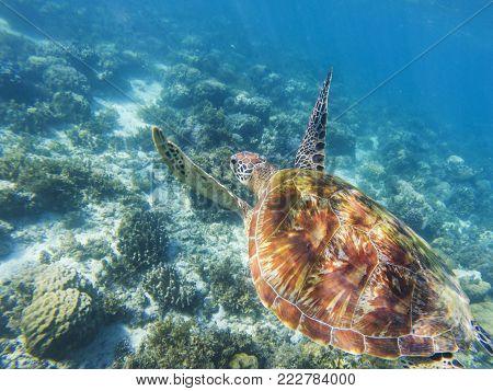 Sea turtle swims above sea bottom. Tropical seashore underwater photo. Marine tortoise undersea. Green turtle in natural environment. Green turtle swims underwater. Marine animal of tropical seashore