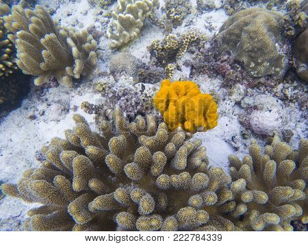 Yellow sea sponge and coral on white sand of tropical sea bottom. Bright orange sea sponge. Coral reef animals. Tropical seashore underwater photo. Coral reef undersea landscape. Yellow coral closeup