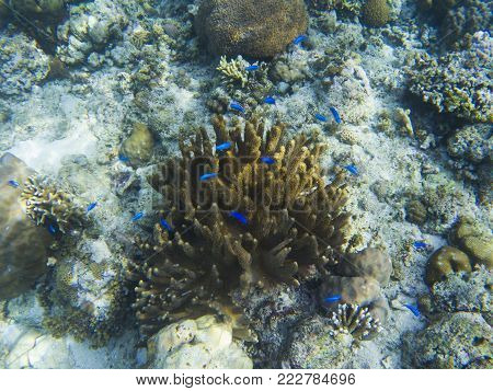 Blue fish wrasse in yellow coral on tropical sea bottom. Blue coral fish. Coral reef animals. Exotic island lagoon snorkeling and diving. Tropical shore underwater photo. Coral reef undersea landscape