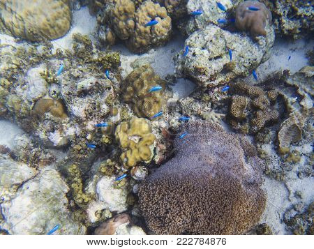 Neon blue fish on tropical sea bottom. Coral fish school. Coral reef animals. Exotic island lagoon snorkeling and diving. Tropical seashore ecosystem underwater photo. Coral reef undersea landscape