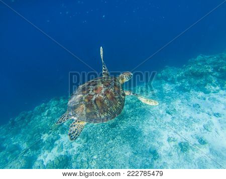 Sea turtle by coral wall edge. Tropical seashore underwater photo. Marine tortoise undersea. Green turtle in natural environment. Green turtle underwater. Marine animal of tropical seashore