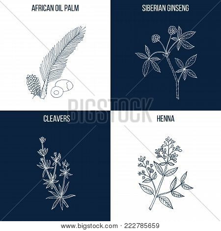 Vector collection of four hand drawn medicinal and eatable plants, african oil palm, siberian ginseng, cleavers, henna