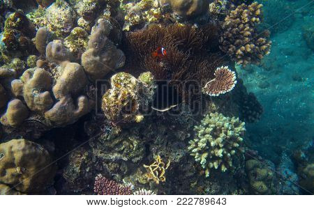 Clownfish in tropical seashore underwater photo. Coral reef animal. Warm sea shore nature. Anemonefish and coral. Undersea view of marine life. Coral reef landscape. Shallow water snorkeling