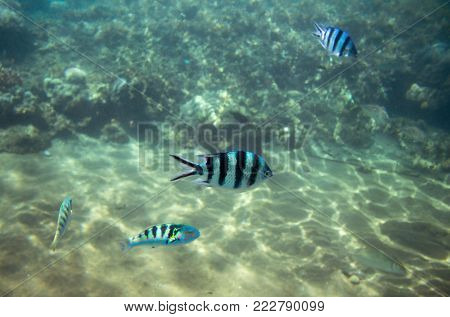 Sergeant fish in blue water. Tropical fish Dascillus in seashore. Coral fish underwater photo. Striped Dascillus closeup. Coral reef animal. Warm tropical seashore fauna. Aquarium fish in wild nature