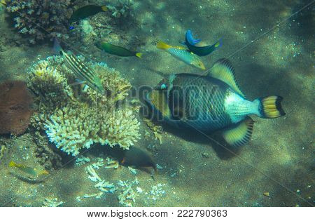 Trigger fish on the sea bottom. Tropical fish Trigger in seashore. Coral fish underwater photo. Triggerfish closeup. Coral reef animal. Warm tropical seashore fauna. Aquarium fish in wild nature
