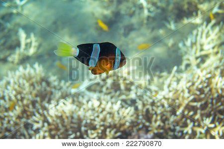 Yellow black Clownfish in seashore. Coral fish underwater photo. Orange and black anemonefish closeup. Coral reef animal. Warm tropical shore fauna. Aquarium fish in wild nature. Cute tropical fish