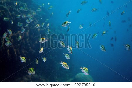 Tropical fish Dascillus in open ocean. Underwater photo. Marine animal. Aquarium fish in wild nature. Undersea view of oceanic life. Coral fish colony. Open water diving. Blue sea and yellow fish