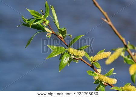 Spring twigs of willow with young green leaves and yellow catkins.
