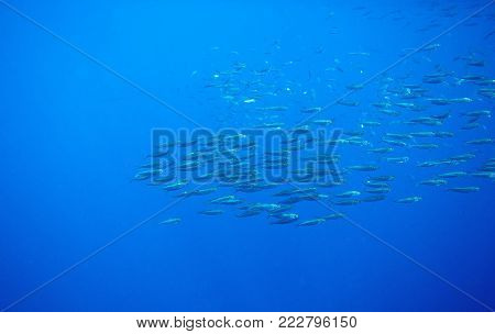Sea sardine colony in blue ocean. Massive fish school undersea photo. Huge fish school swimming in seawater. Mackerel shoal. Oceanic wildlife. Sea sardines. Fishing for seafood. Salt water fish shoal
