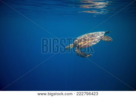 Green turtle in open water of blue ocean. Tortoise underwater photo. Marine tortoise undersea. Green turtle in natural environment. Sea turtle swims underwater. Marine animal of tropical seashore