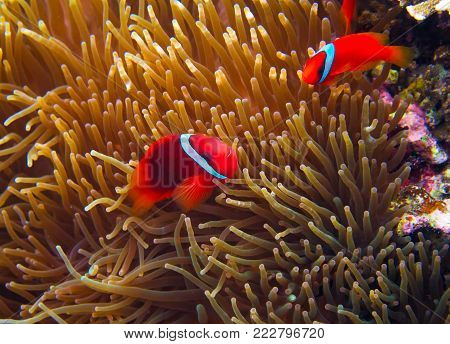 Orange Clown fish in actinia tentacle. Coral fish underwater photo. Orange and white anemonefish closeup. Coral reef animal. Warm tropical shore fauna. Aquarium fish in wild nature. Cute tropical fish