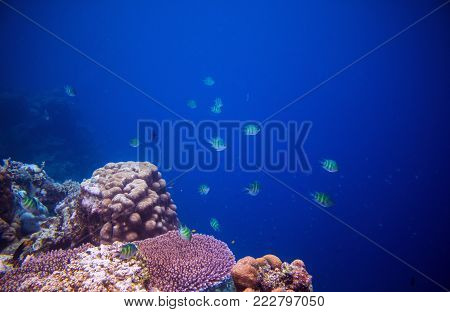 Tropical fish Dascillus in coral reef. Underwater photo. Sea fish. Aquarium fish in wild nature. Undersea view of ocean life. Coral reef environment. Open water diving. Colorful tropical fish in coral