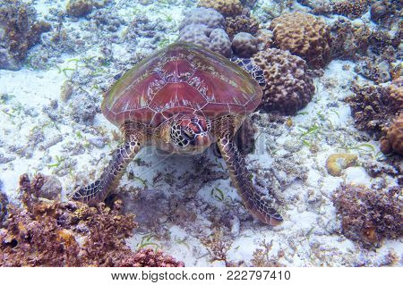 Sea turtle eat seaweed on sea bottom. Tropical seashore underwater photo. Marine tortoise undersea. Green turtle in natural environment. Green turtle underwater. Marine animal of tropical seashore