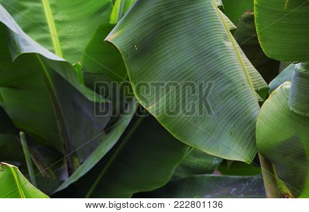 Tropical plant with green leaf closeup photo. Large soft banana leaf background. Tropical jungle banner template. Green leaf backdrop. Exotic foliage minimalistic photo. Banana leaf fresh foliage