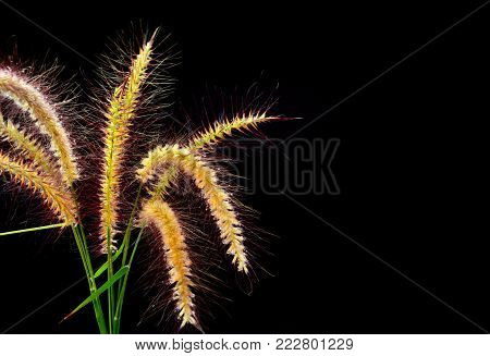 Golden grass flower and water drop on top with black background,copy space for add special text about concept is Sensitive but not weak.