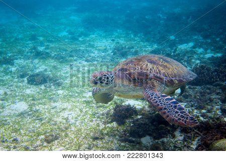 Green turtle in seashore of tropical island. Tortoise underwater photo. Marine tortoise undersea. Green turtle in natural environment. Sea turtle swims underwater. Marine animal of tropical seashore