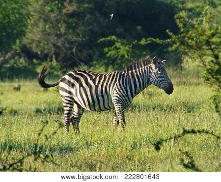 Zebra among grass and bushes in Central Africa. It wags its tail, and is listening. the background is green