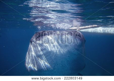 Whale shark in blue sea water. Whale shark closeup eating plankton by sea water surface. Huge oceanic animal. Biggest shark in natural environment. Snorkeling or diving with whale shark in Philippines