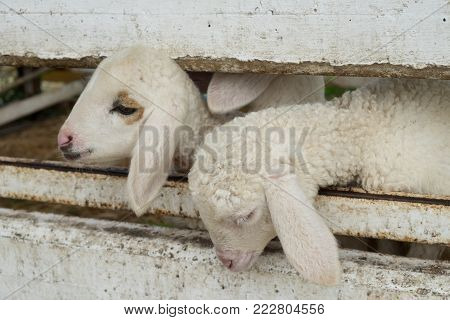 The face of the sheep emerging from the stable , sheep in stable.