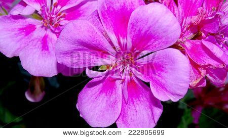Beautiful Pink Flower Close Up. A Flower Background.