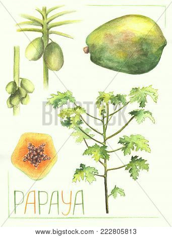 Papaya fruit and tree botanical illustration. Handdrawn papaya plant vegetation. Papaya fruit grow on tree trunk. Exotic plant drawing. Tropical garden tree. Tropic greenery. Melon tree vintage poster