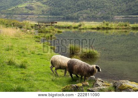 Landscape with sheep in a meadow near the lake, Flom, Norway. Herd of sheep on green pasture drink water. Summer time Norway landscape.
