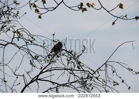 Common Starling (sturnus Vulgaris) On Tree Branch