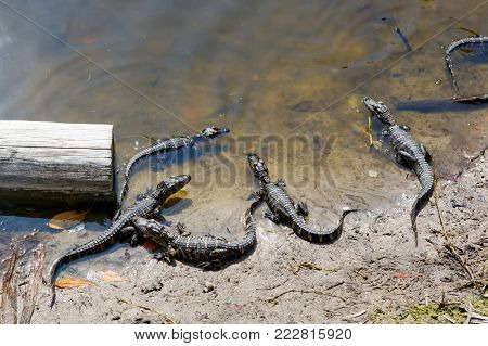 Group of American baby alligators in Florida Wetland. Everglades National Park in USA. Little gators. Popular place for tourists, wild nature and animals.