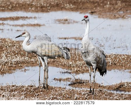 A Group of Sandhill Cranes Wade at a Pond