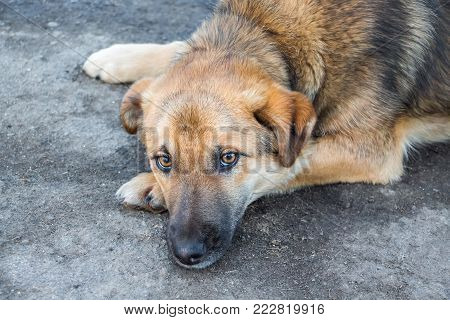 on the asphalt is a tired dog with sad eyes, close-up