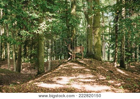 Wild deer in the forest. Animal in a natural habitat