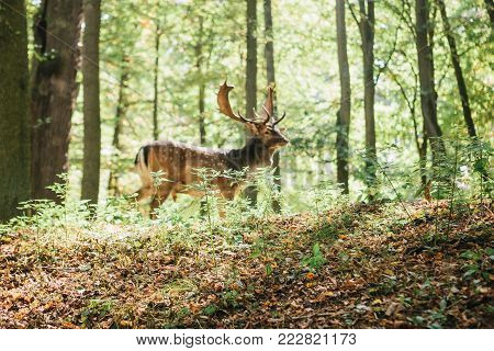 Beautiful deer with branched horns stands on a hill in an autumn forest among trees. Selective focus on grass, deer blurred in the background.