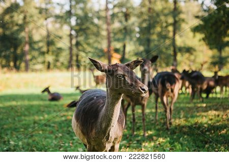 A young deer in a natural habitat in the foreground. A group of young deer walks through a warm green sunny meadow in a forest next to the trees.