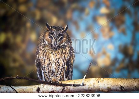 Long-eared Owl (asio Otus) In The Forest